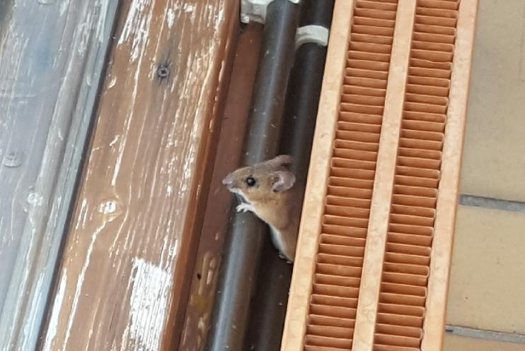 German field mouse
